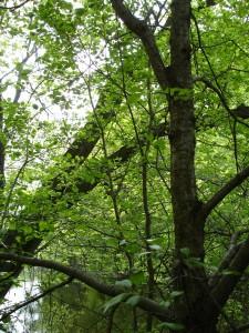 invasive species buckthorn