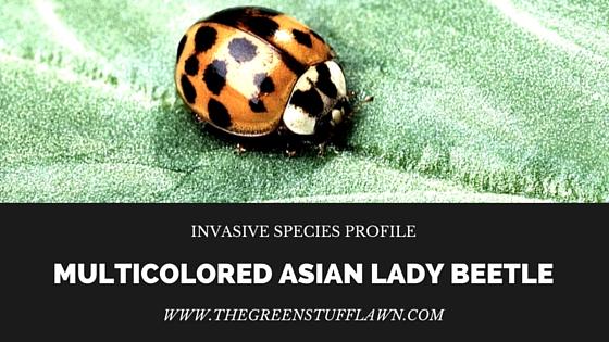 invasive species: asian beetle